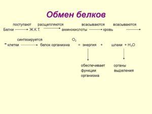 Обмен белков