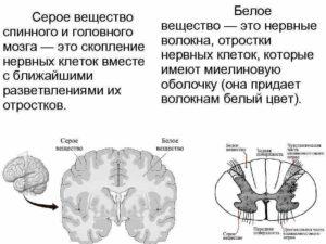 Серое и белое вещество в головном и спинном мозге