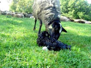 Организация проведения случки и ягнения овцематок