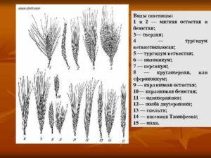 разновидности озимой пшеници
