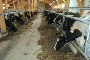 Способы содержания крупного рогатого скота