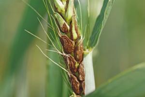 Болезни пшеницы