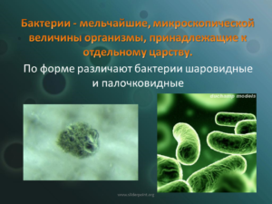 Реферат на тему : Бактерии в школе