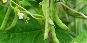 Ботанічна характеристика квасолі