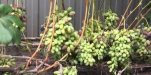 Виноград в средней полосе России